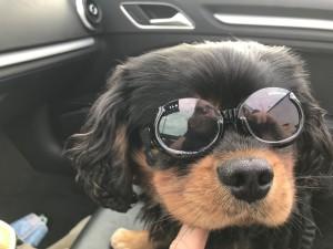 Happy met zijn zonnebril speciaal voor honden.